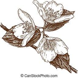 incisione, fiori, gelsomino, tre, illustrazione
