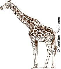 incisione, giraffa, disegno, illustrazione