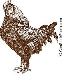 incisione, illustrazione antica, gallo