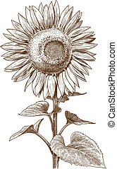 incisione, illustrazione antica, girasole