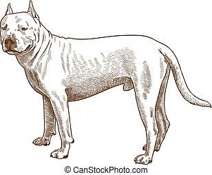 incisione, illustrazione antica, pitbull