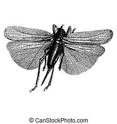 incisione, insetto