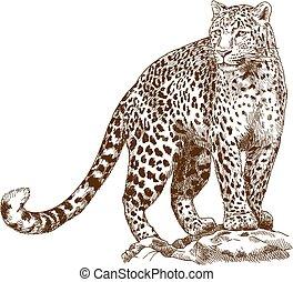 incisione, leopardo, disegno, illustrazione