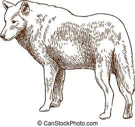 incisione, lupo, disegno, illustrazione