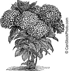 incisione, macrophylla, bigleaf, ortensia, vendemmia, o