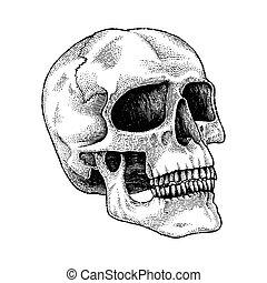 incisione, mano, disegno, illustrazione, cranio