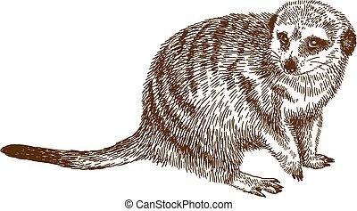 incisione, meerkat, disegno, illustrazione