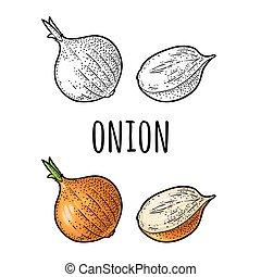 incisione, onion., vendemmia, isolato, vettore, mezzo, bianco, intero