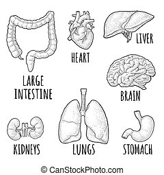 incisione, rene, cervello, cuore, organs., stomach., anatomia, vettore, umano, fegato