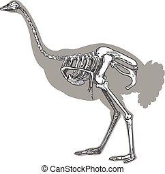 incisione, scheletro, illustrazione, struzzo
