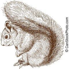 incisione, scoiattolo