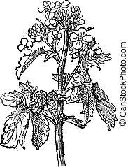 incisione, senape, vendemmia, sinapis, brassica, sp., o