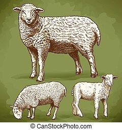 incisione, sheeps, retro, tre