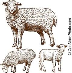 incisione, sheeps, vettore, tre