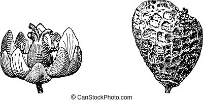 incisione, smoketree, cotinus, vendemmia, eurasian, rhus, o
