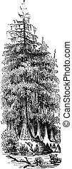 incisione, taxodier, (taxodium, bald-cypress, vendemmia, distichum), distico, o