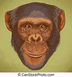 incisione, testa, scimpanzé