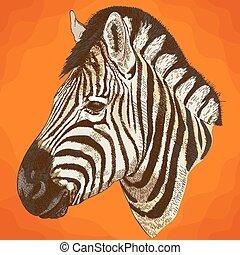incisione, testa, zebra, illustrazione, africano