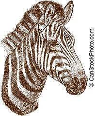 incisione, testa, zebra