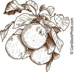 incisione, tre, ramo, mele