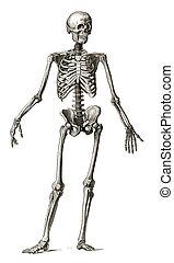 incisione, vecchio, scheletro, umano