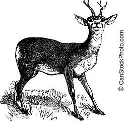 incisione, vendemmia, cervo, capriolo