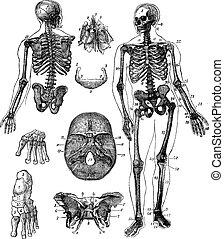 incisione, vendemmia, scheletro, umano