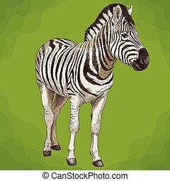 incisione, zebra, illustrazione, africano