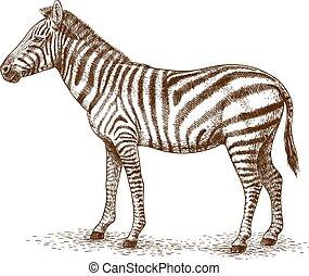 incisione, zebra, illustrazione