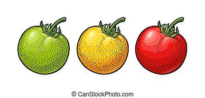 inciso, isolato, illustrazione, fondo., vettore, bianco, tomato., intero