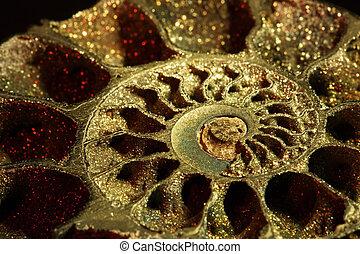 incliné, ammonite, macro