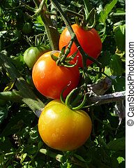 Increasing tomato on green background