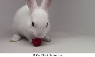 Incredible close up view on fluffy white cute rabbit tiny little bunny munching eating strawberry on white background