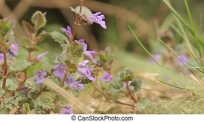 Incredible close up view on wild nature honey bee insect bumblebee collecting nectar working on violet flower