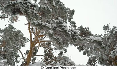 Incredibly beautiful snow-covered tops of pine trees in the forest. Green needles on branches in winter.