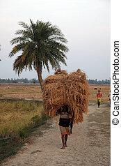 India, bengala, arroz, hogar, 02, granjeros, oeste, -,...