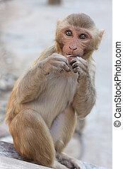 India, Rajasthan, Jaipur, indian monkeys  taken in Galata