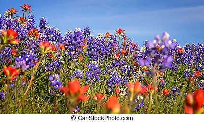 indian, 国, -, 野生の花, 丘, bluebonnet, テキサス, ペイントブラシ