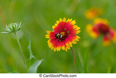 Indian blanket flower having bumblebee guest