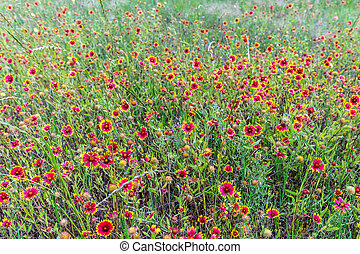 Indian Blanket Wildflowers in Texas - A Field Full of Red ...