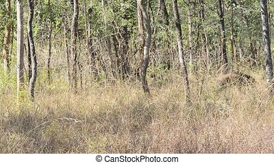 Indian Boar in the Forest in National Park in India - Wild...