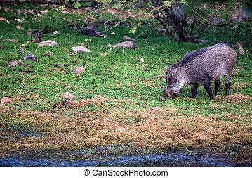 Indian boar or Sus scrofa cristatus in Ranthambore national...