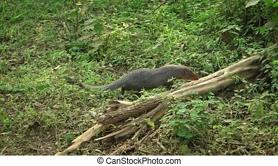 Indian Brown Mongoose in a Sri Lankan Wildlife Refuge -...