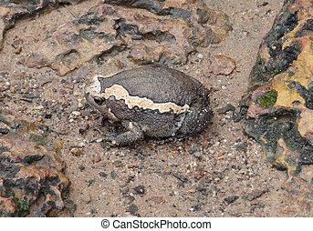 indian bullfrog - a indian bullfrog seen in Cambodia