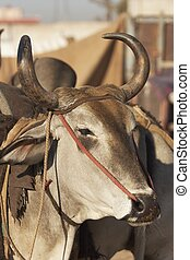 Indian Bullock - Head of a bullock being sold at the Nagaur...