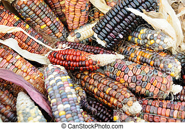 Close up of colorful indian corn on cob