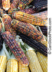 Close up of colorful indian corn on cobs