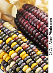 Indian corn - Two cobs of indian corn close up
