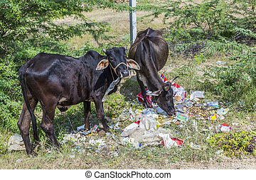 indian cows looking in plastic litter for food - indian cows...