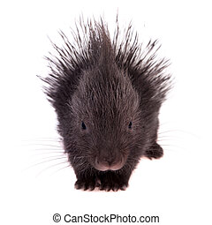 Indian crested Porcupine baby on white - Indian crested...